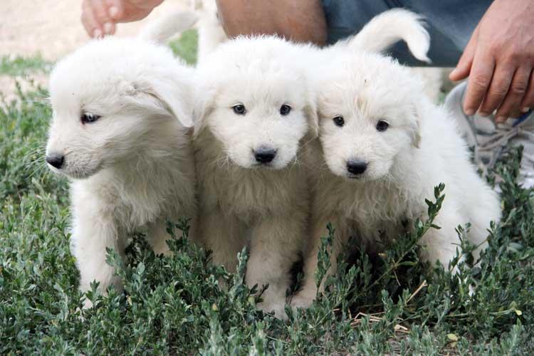 Cuccioli I Nostri Cuccioli Di Cane Da Pastore Maremmano Abruzzese